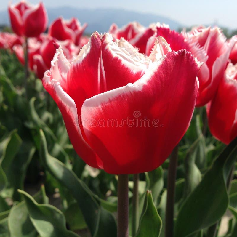 Tulps vermelhos e brancos imagens de stock royalty free