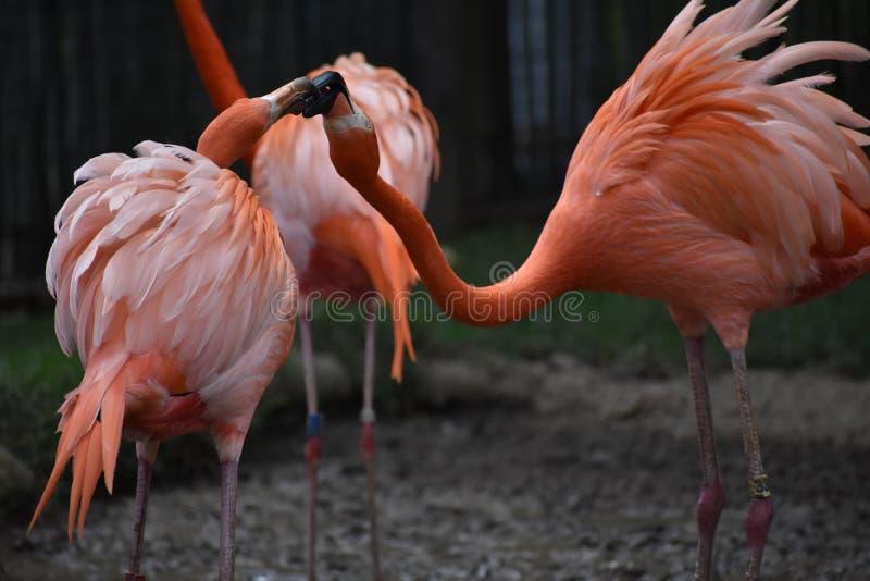 Flamingos. At the Tulsa Zoo fighting or mating stock photo