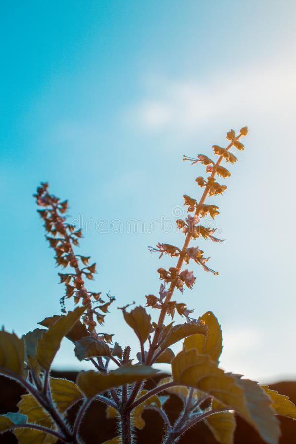 Tulsi, Basil, leaves, flowers, in the evening. stock photography