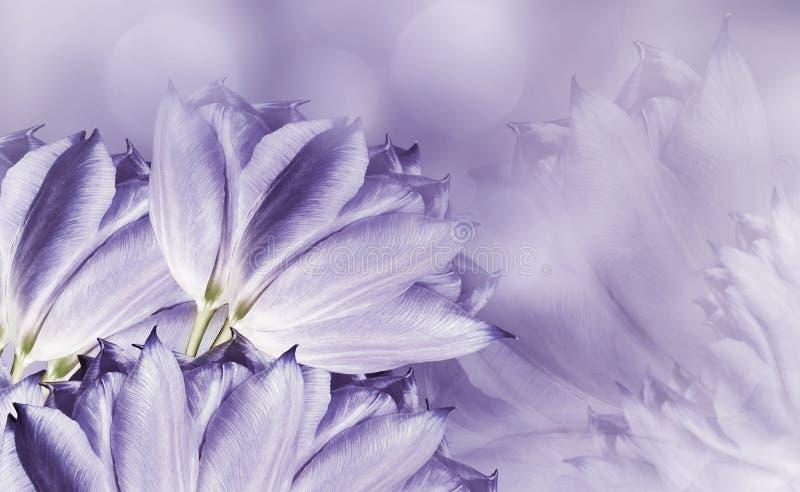 Tulups de fleurs sur le fond blanc-violet Tulups violet-clair de fleurs Fond floral Composition de fleur photo libre de droits