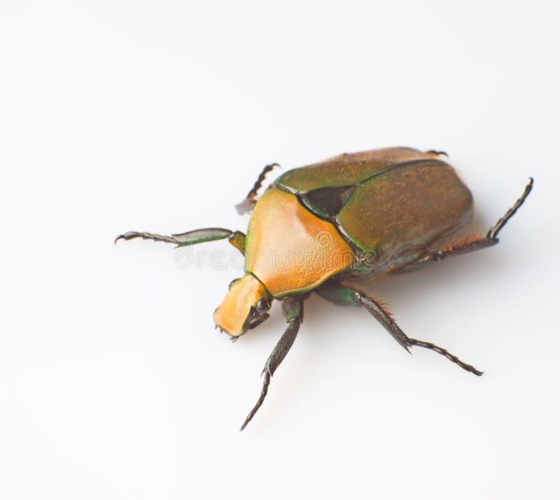 Free Tumblebug Stock Photo - 29372140