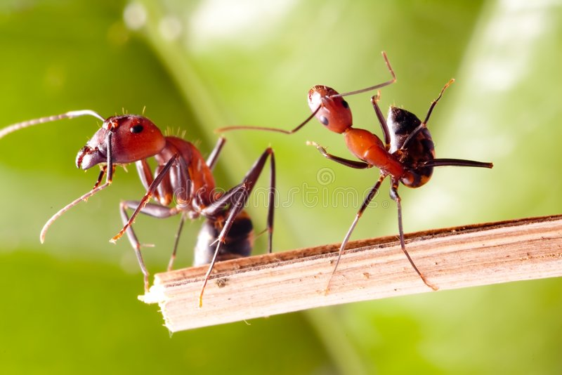 Tumbles ANT. Camponotus rothneyi var.taivanae, it's close up ANT photo small one looks like Tumbles, and the big one does not dare to look royalty free stock image