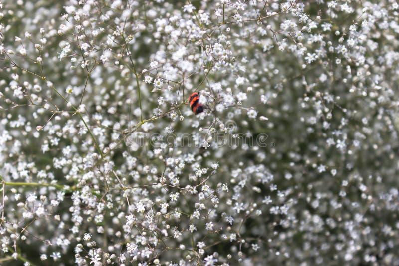 Tumbleweed, dzieci oddechy, łyszczec paniculata, abstrakcjonistyczny naturalny tło, rośliny świrzepa w polu obrazy royalty free