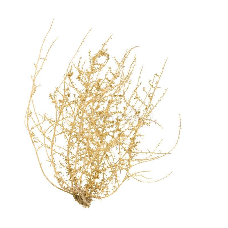 Tumbleweed sec Bush image stock