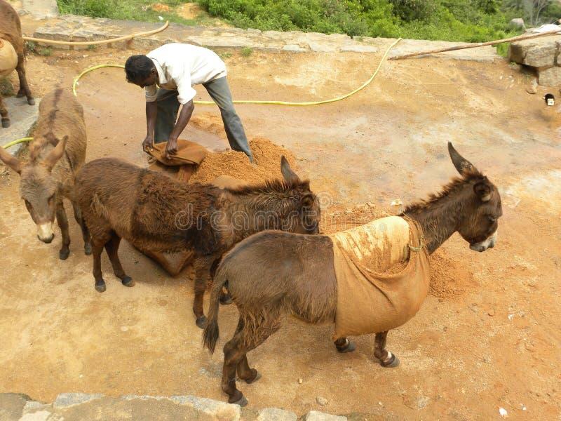 Tumkur, Karnataka, Índia - 1º de janeiro de 2009 homem de A que usa mulas para transportar a areia da montanha imagens de stock royalty free