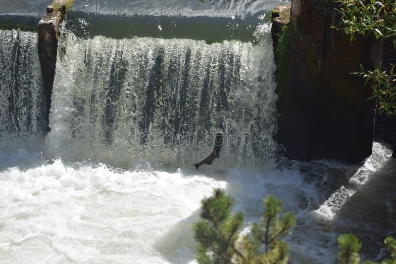 Tumwater cai salmões foto de stock royalty free