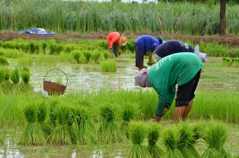 Tun Sie die Paddylandwirtschaft stockfotos