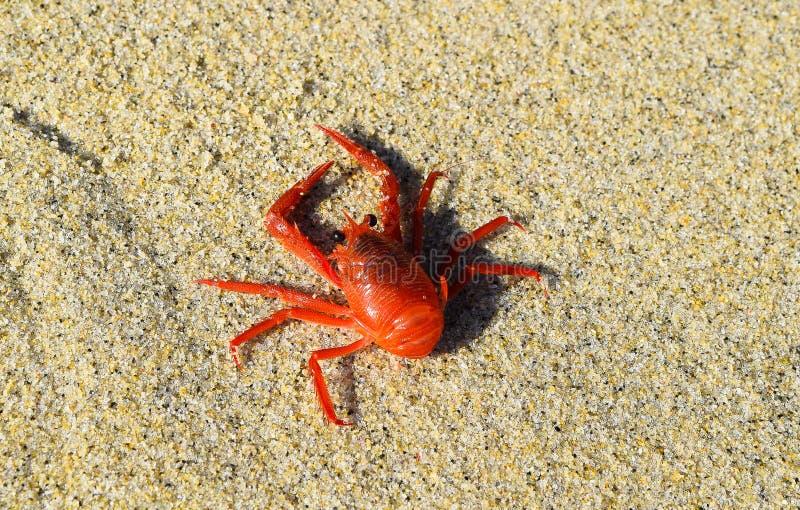 Tuna Crab vermelha na praia na angra de La Jolla em San Diego, Califórnia imagens de stock