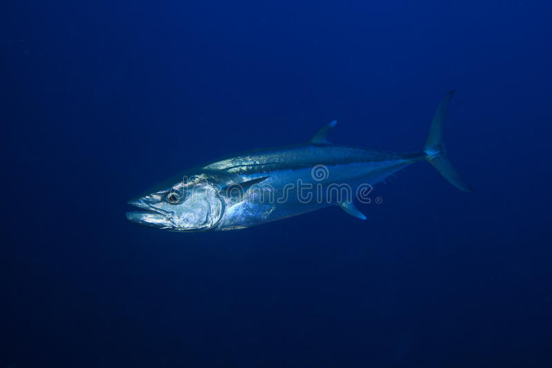 Tuna fish. Dogtooth tuna in the open water of the ocean stock photo