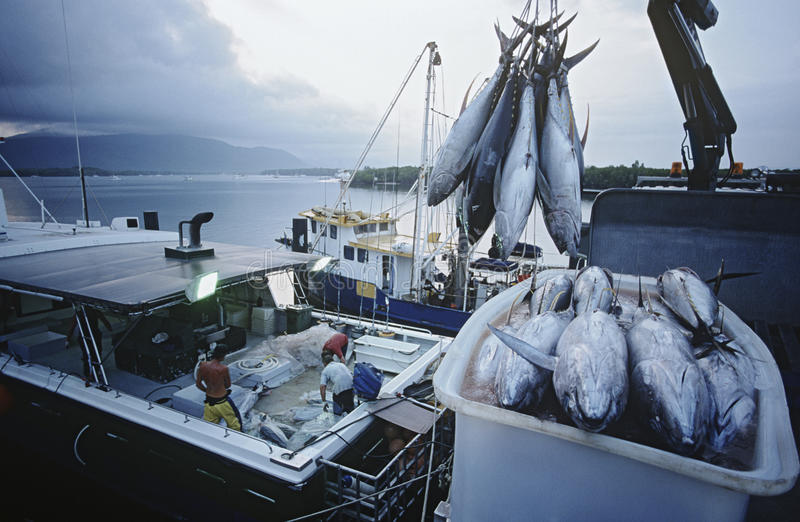 Tuna fish in container on fishing boat dawn Cairns Australia royalty free stock image
