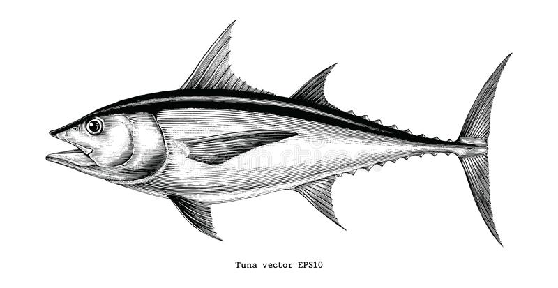 Tuna fish hand drawing vintage engraving illustration. Isolated on white background royalty free illustration