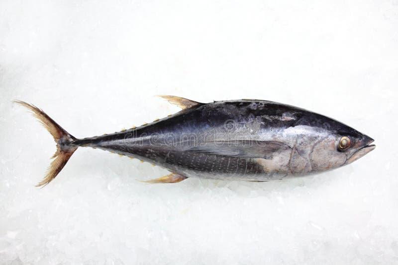 Tuna Fish no fundo do gelo imagem de stock royalty free