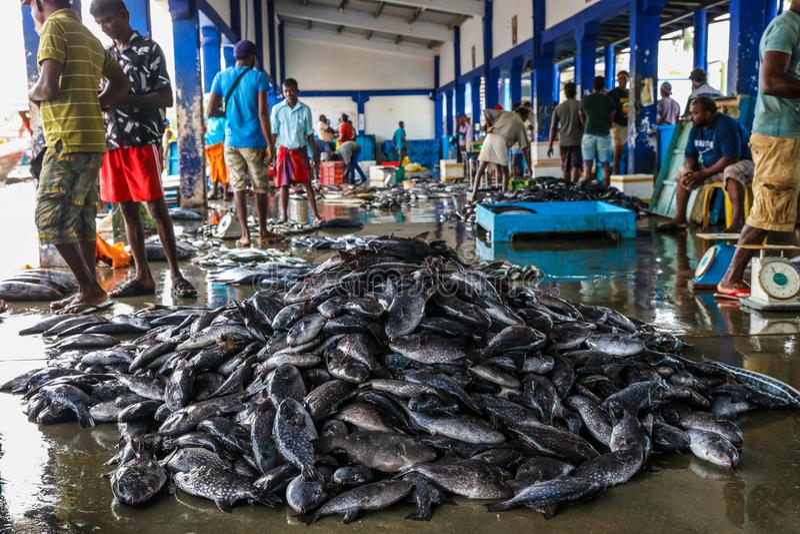 Tuna Fish på fiskemarknaden i den Beruwala hamnen, Sri Lanka royaltyfri bild