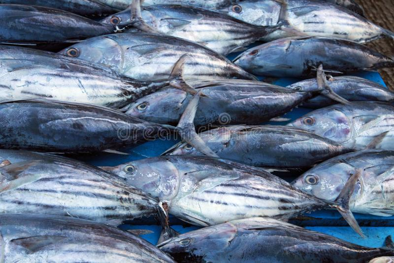 Tuna fishes orderly presented in a row on market near Hikkaduwa, Sri Lanka stock images