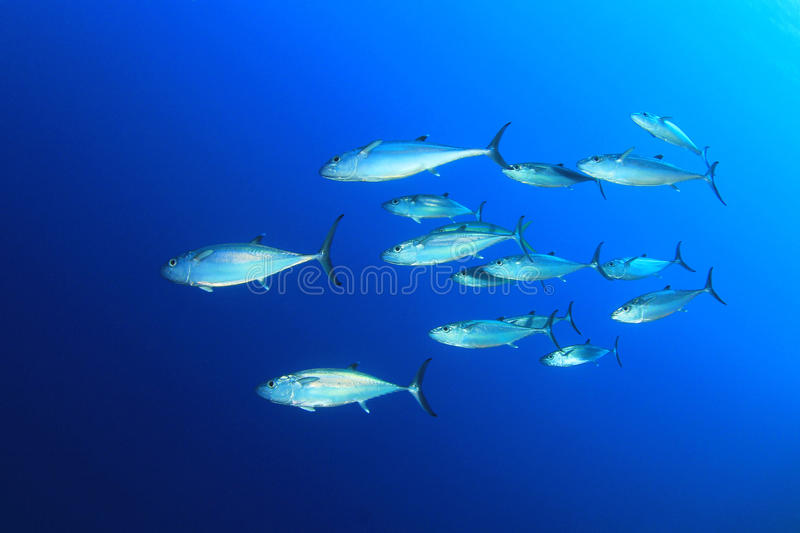 Tuna in the Sea royalty free stock photo