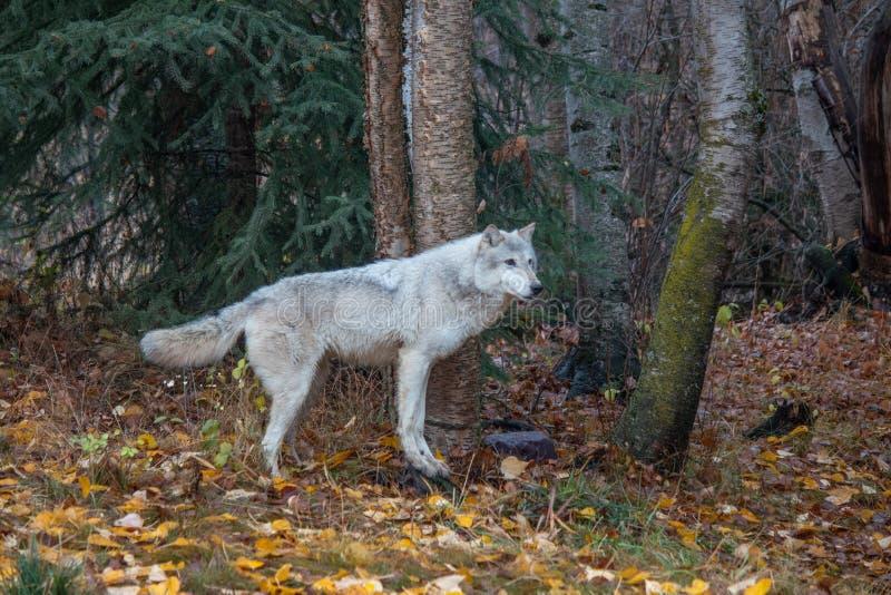 Tundra λύκος στο δάσος το φθινόπωρο στοκ φωτογραφία