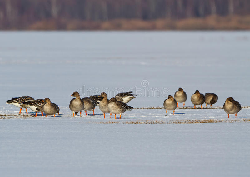 Tundra Bean Goose on a snowy field. A flock of Tundra Bean goose is looking for food on a snowy field after a late April snow blizzard royalty free stock photos