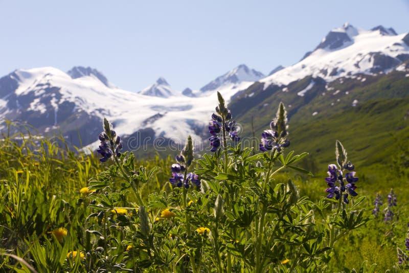 Tundra flowers and Worthington Glacier royalty free stock photo