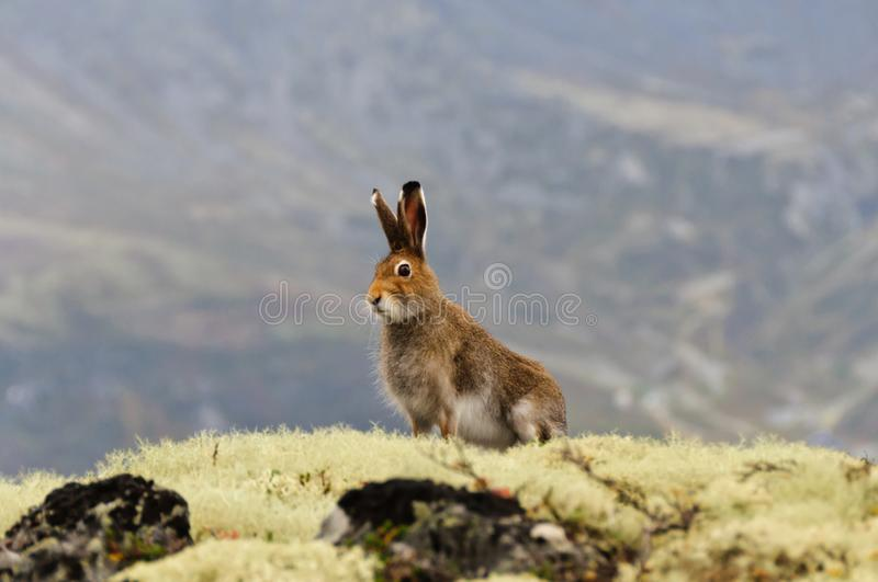 Tundra hare. Also known as mountain hare. Lepus timidus stock images