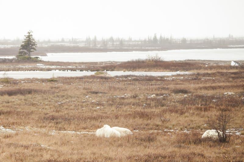 Tundra nebbiosa: Lago, sempreverdi e Bea polare sonnolento immagine stock