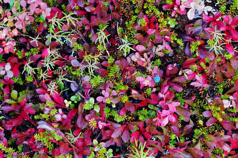 Tundra polar colorful vegetation. Yamal peninsula royalty free stock photos
