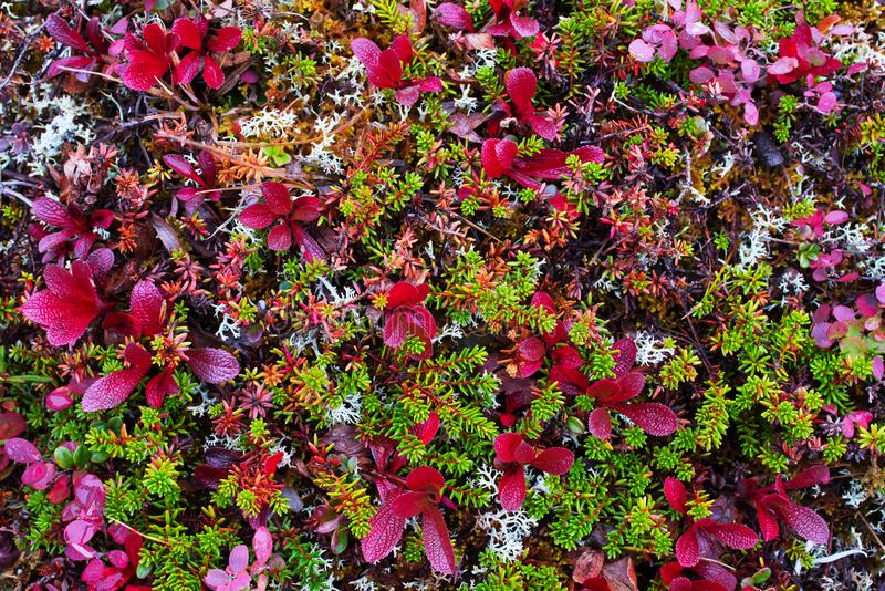 Tundra polar colorful vegetation. Yamal peninsula royalty free stock photo