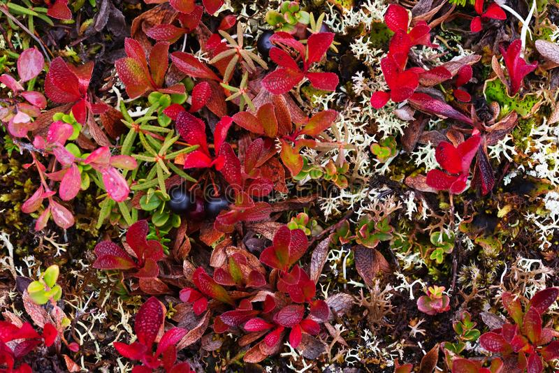 Tundra polar colorful vegetation. Yamal peninsula royalty free stock photography