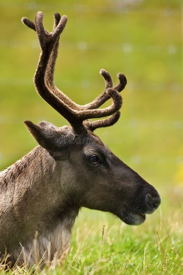 Tundra Reindeer - (Rangifer tarandus) royalty free stock image