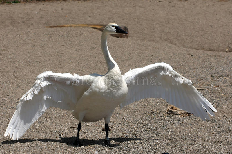 Tundra Swan. Open Wings In Afternoon Sun royalty free stock photos