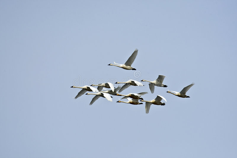 Download Tundra Swan stock photo. Image of swans, lakes, marshes - 8402890