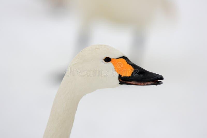 Tundra swan. (Cygnus columbianus) in Japan royalty free stock image