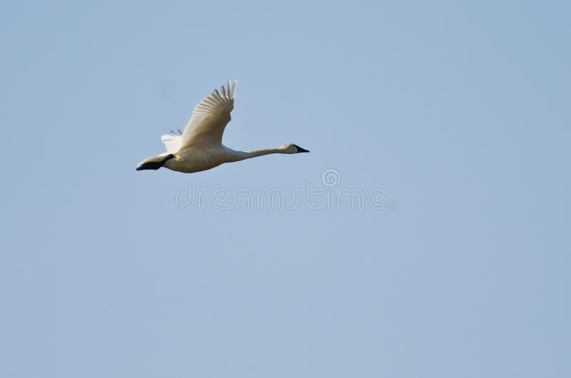 Tundra Swan Flying in a Blue sky stock image