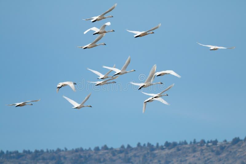 Tundra swan migration. California, Tulelake, Lower Klamath National Wildlife Refuge, Taken 01.17 stock photo