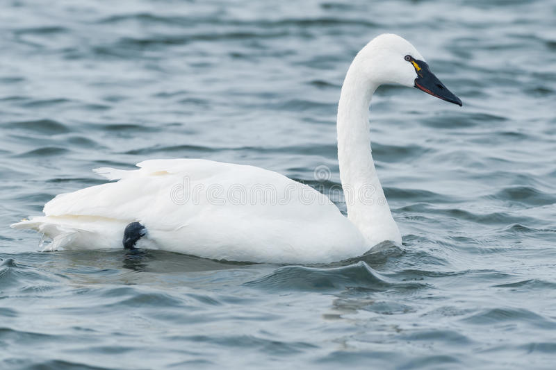Tundra Swan. Swimming in the open water stock image