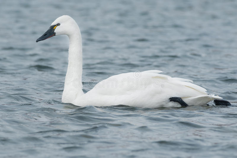 Tundra Swan. Swimming in the open water royalty free stock photo