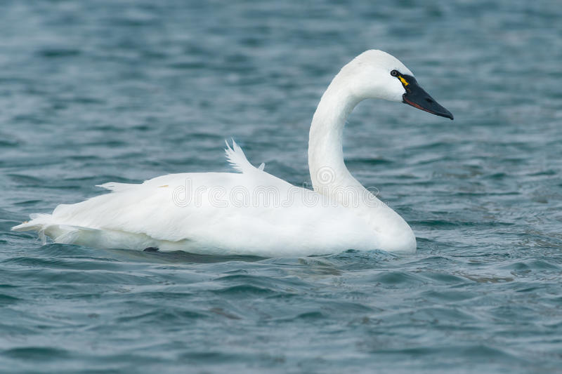 Tundra Swan. Swimming in the open water stock images