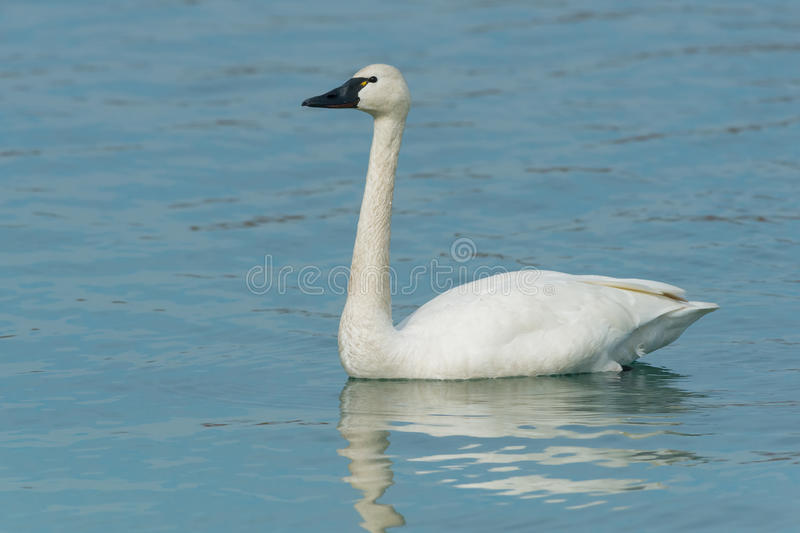 Tundra Swan. Swimming in the open water royalty free stock photography