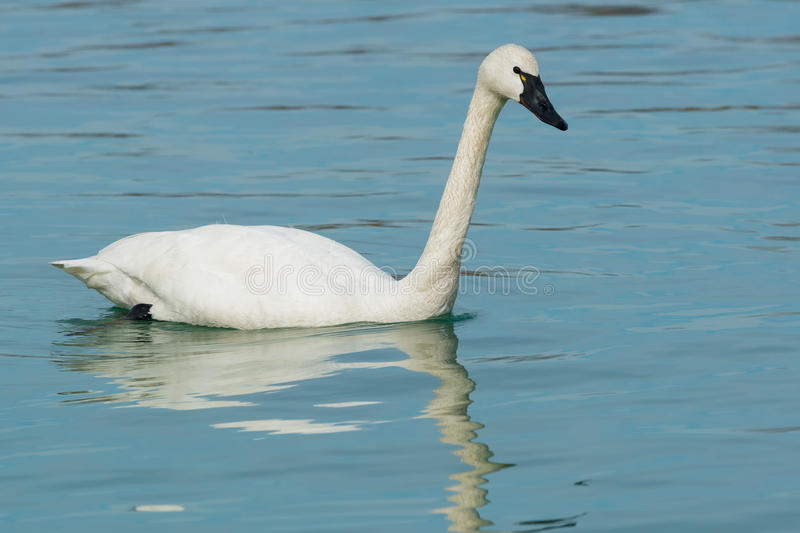 Tundra Swan. Swimming in the open water stock photos