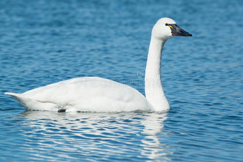 Download Tundra Swan stock photo. Image of america, anseriformes - 113182230
