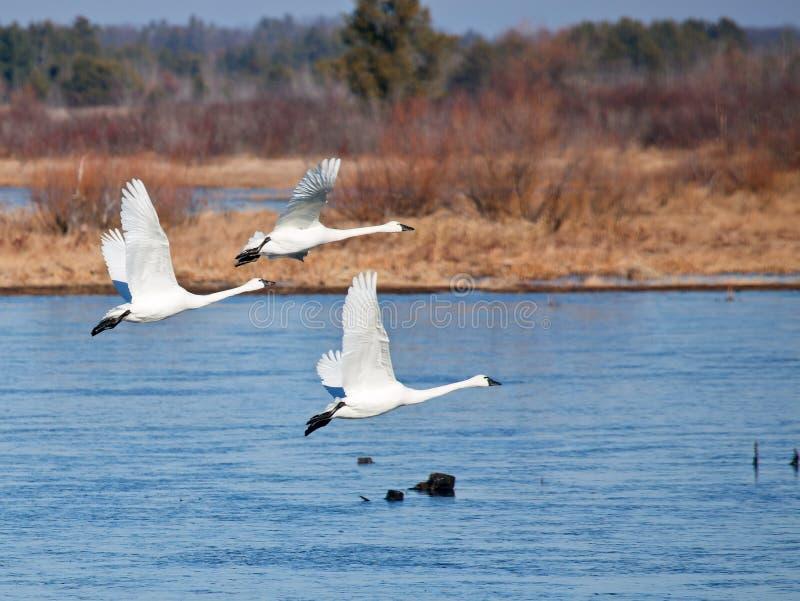Tundra Swan Trio Royalty Free Stock Photography