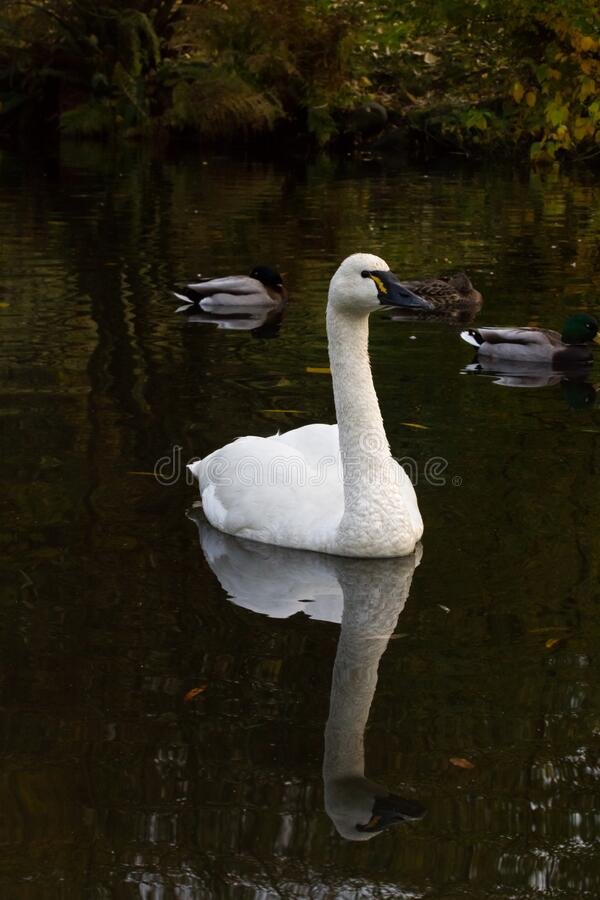 White Tundra Swan. Migratory bird close up stock image