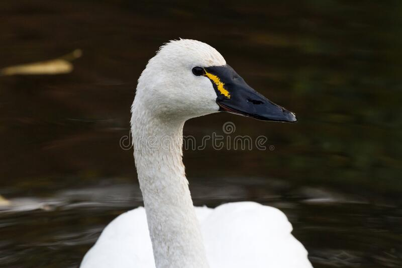 White Tundra Swan. Migratory bird close up royalty free stock photo