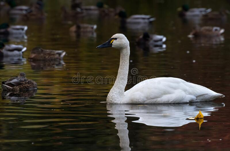 White Tundra Swan. Migratory bird close up royalty free stock images