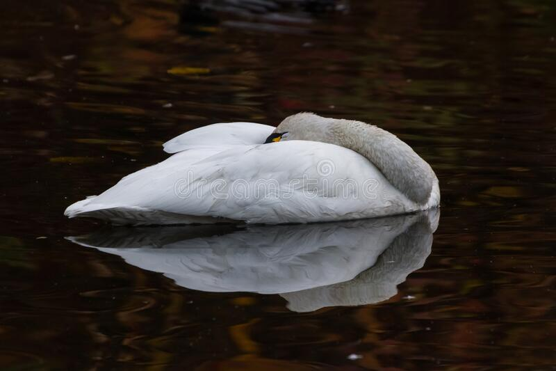 White Tundra Swan. Migratory bird close up stock photos