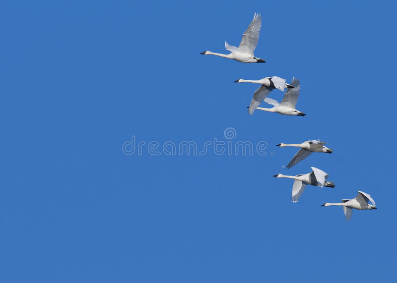 Download Tundra Swans stock image. Image of wild, birds, swan - 18888015