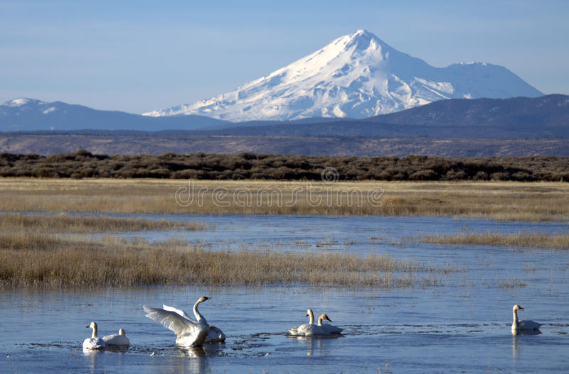 Tundra Swans below Mount Shasta. A group of Tundra Swans at Lower Klamath National Wildlife Refuge with Mount Shasta in the distance stock image