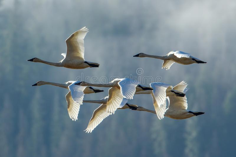 Tundra swans flyng in formation. A flock of tundra swans flying in formation near Kilarney Lake in north Idaho stock images