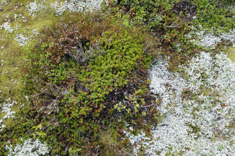 Tundra vegetation. Detail of tundra vegetation, top view royalty free stock photo