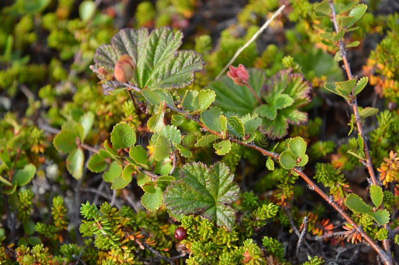 Tundra vegetation on the Kola Peninsula.  royalty free stock photography