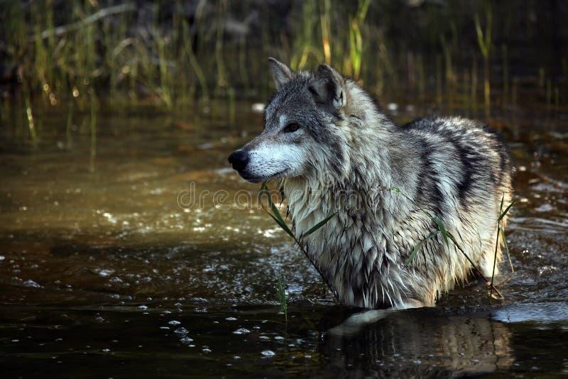 Tundra-Wolf lizenzfreies stockbild